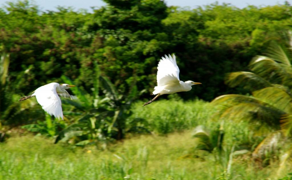 Oiseaux Duchêne