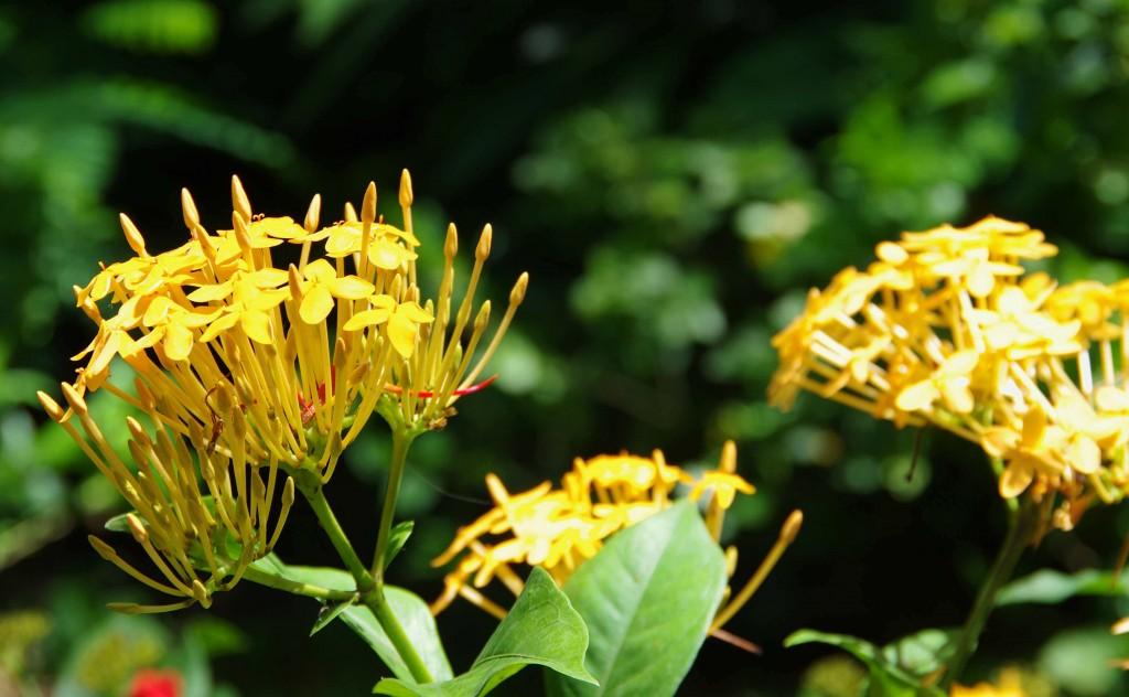 Fleur Coluche 2