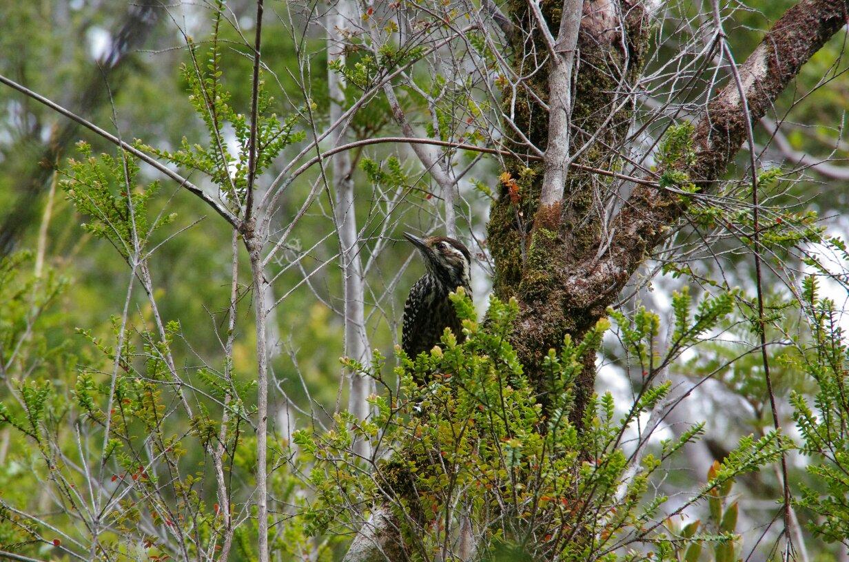tmp_Chiloé parc oiseau 2744339139
