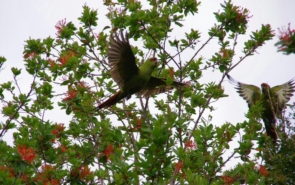 tmp_Chiloé parc oiseau 31936995984