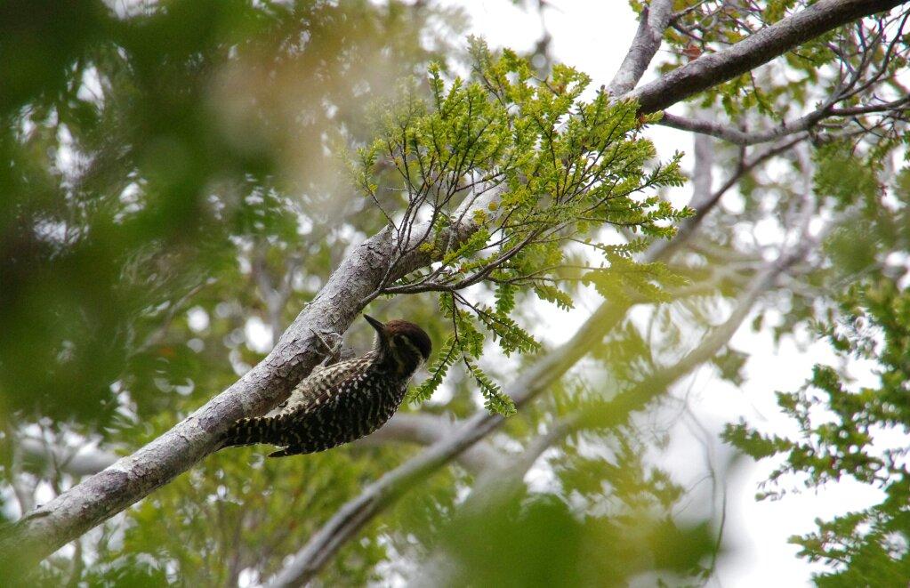 tmp_Chiloé parc oiseau160155015