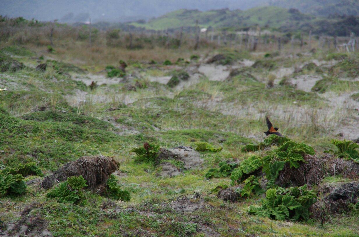 tmp_Chiloé plage oiseau 2-799319697