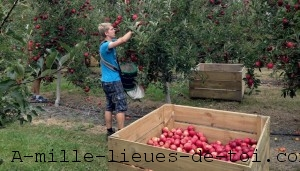Apple-Picking-RTW
